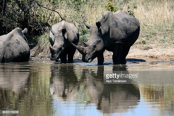 White rhinoceros drinking from pool of water, Sabi Sand Game Reserve, South Africa