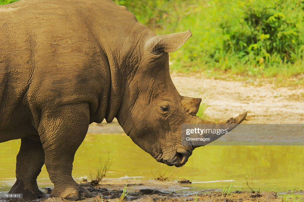 White rhinoceros (Ceratotherium simum) in a forest, Motswari Game Reserve, South Africa : Foto de stock