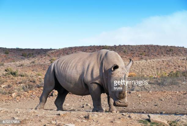 white rhinoceros in the wildlife reserve , little  karoo, south africa - the karoo stock photos and pictures