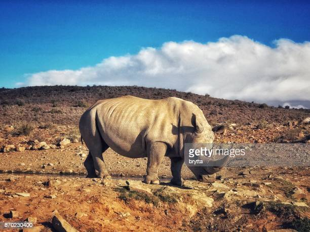 White rhinoceros in the wildlife reserve , Little  Karoo, South Africa