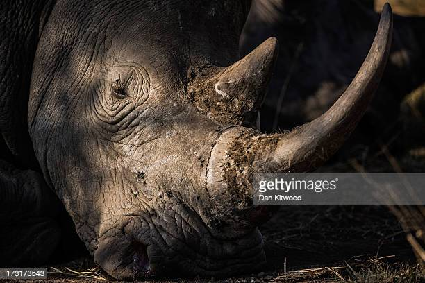White Rhinoceros lazes in the sun in Kruger National Park on July 8 2013 in Lower Sabie South Africa The Kruger National Park was established in 1898...