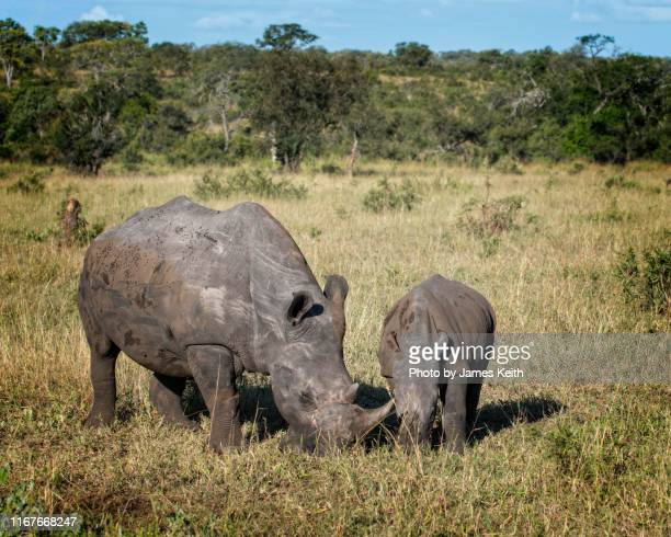 a white rhinoceros mother grazes with her calf on the grasslands of south africa. - mpumalanga province stock pictures, royalty-free photos & images