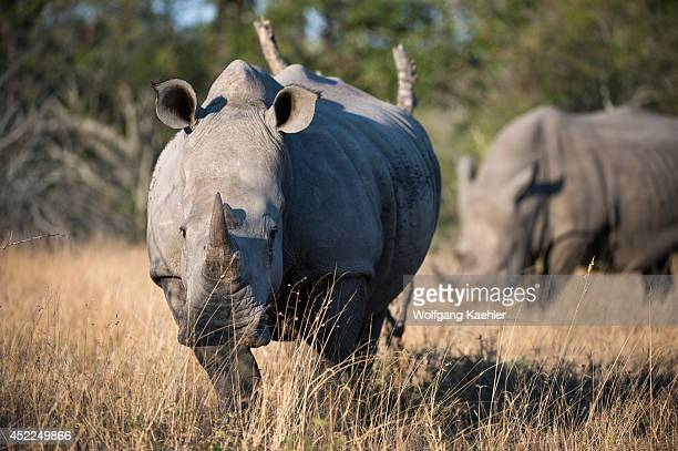 White rhinoceros or squarelipped rhinoceros in the Sabi Sands Game Reserve adjacent to the Kruger National Park in South Africa are the second...