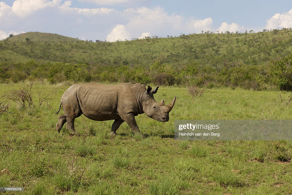 White Rhinoceros : Stock Photo