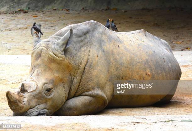 white rhinoceros - extinct stock pictures, royalty-free photos & images