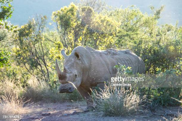 White Rhinoceros standing on side of road, South Africa