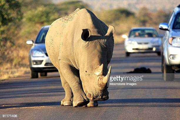 White rhinoceros walking on the road