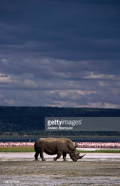 White rhinoceros (Diceros simus) walking the lakeshore with lesser flamingo by the thousands as a backdrop.