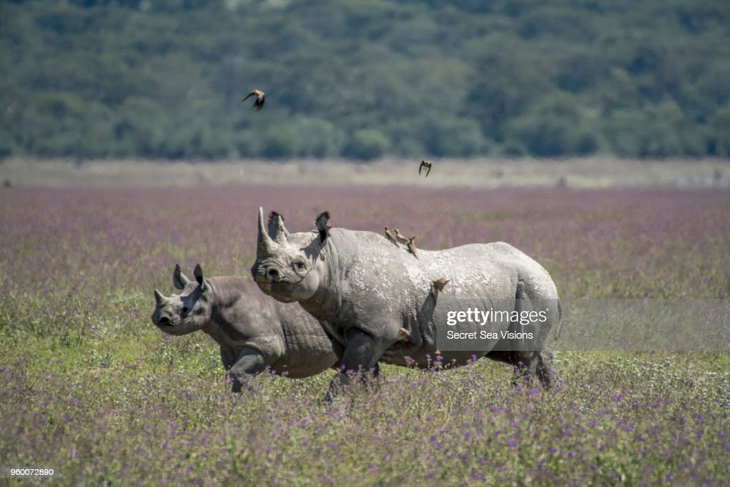 White Rhinoceros with calf : Stock Photo