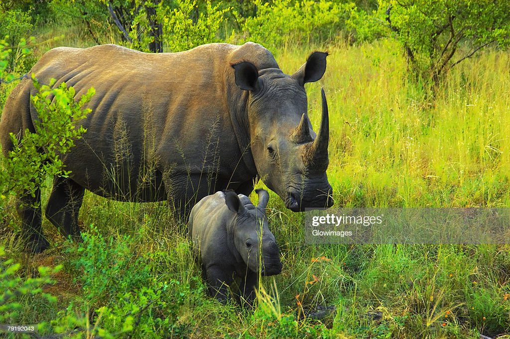 White rhinoceros (Ceratotherium simum) with its calf in a forest, Makalali Game Reserve, South Africa : Foto de stock