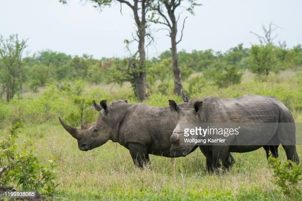 17 513 Rhinoceros Photos And Premium High Res Pictures Getty Images