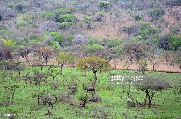 White rhinoceroses roam freely on October 2, 2003 in Hluhluwe-iMfolozi Park in Natal, South Africa. The park has a surplus of animals and some are...