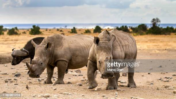 white rhinos and african buffalo - herbivorous stock pictures, royalty-free photos & images