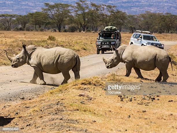 ホワイト Rhinos とサファリ車