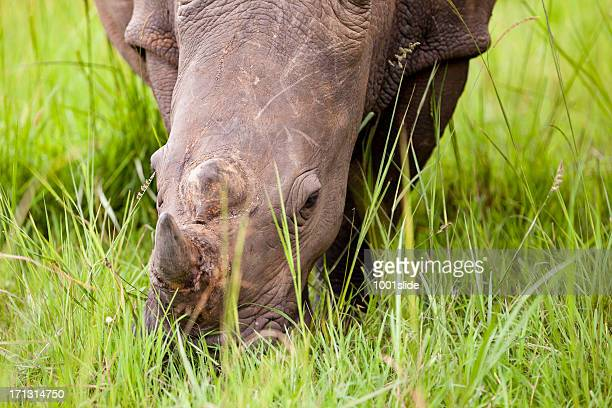 white rhinos - double horns - herbivorous stock pictures, royalty-free photos & images