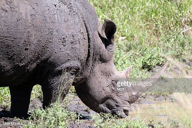 White rhinos in HluhluweiMfolozi Park in KwaZuluNatal South Africa The park home to one of the oldest rhino conservation efforts in Africa has a...