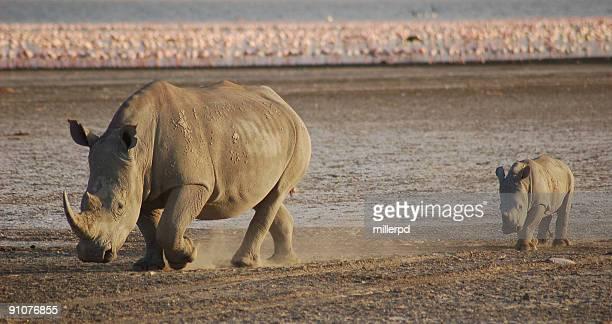 White rhinos pink flamingos