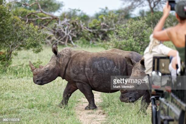 white rhinos watched by tourist in the klaserie reserve, greater kruger national park - safari animals stock photos and pictures