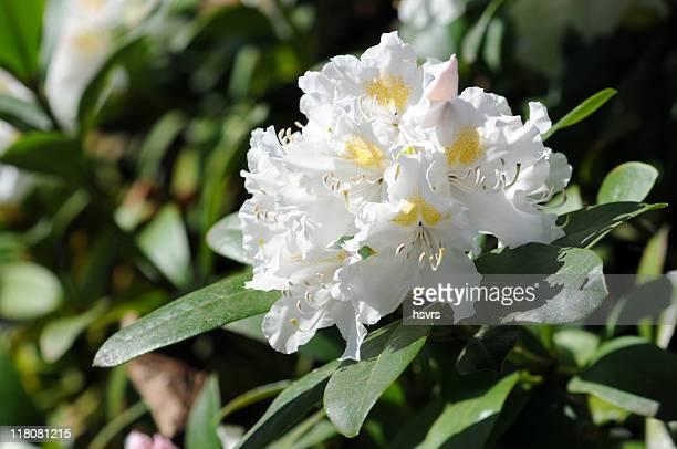 Rododendro blanco