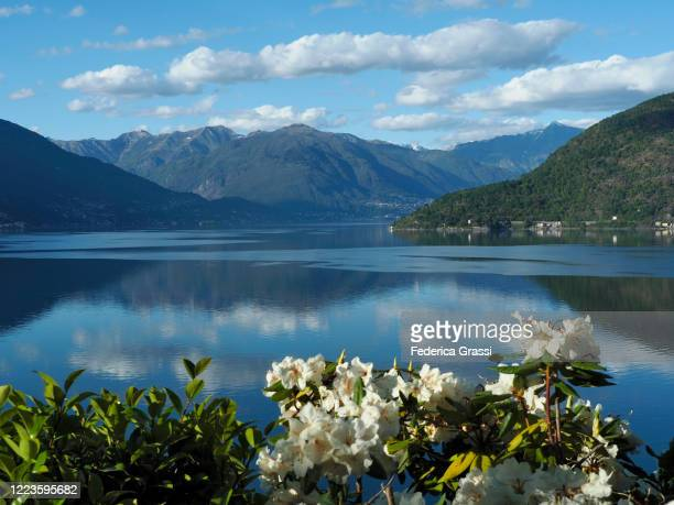 white rhododendrons on the shore of lake maggiore - ascona stock pictures, royalty-free photos & images