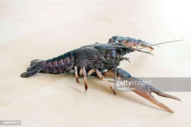 White river crawfish