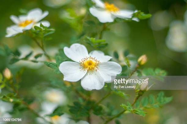 white rosa canina flowers - dog rose stock photos and pictures