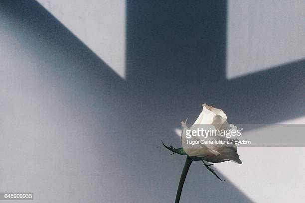 white rose blooming against wall - 一輪の花 ストックフォトと画像