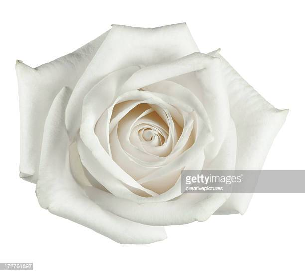 White rose close up with petals
