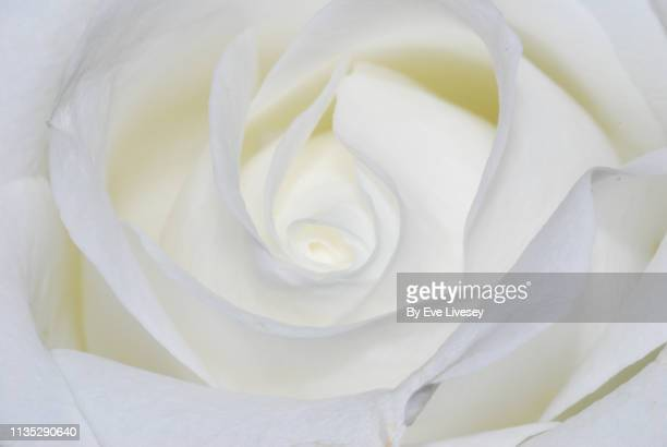 white rose flower macro - innocence stock pictures, royalty-free photos & images