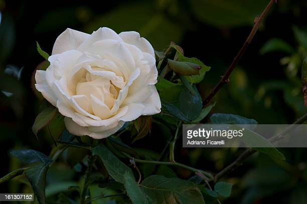 a white rose for my flickr friends - adriano ficarelli stock pictures, royalty-free photos & images