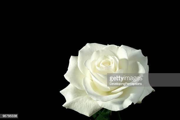ホワイトのローズ満開に黒色の背景