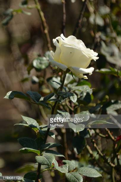 A white rose is seen outside the Soumaya museum Rose bushes were put to decorate and as a tourist attraction on January 10 in Mexico City Mexico The...