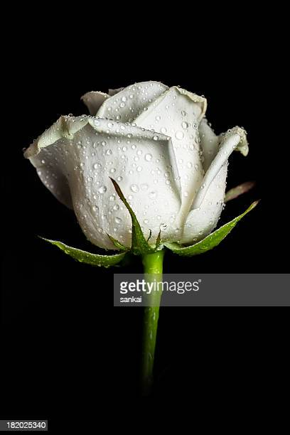 white rose isolated on black background - black rose stock photos and pictures