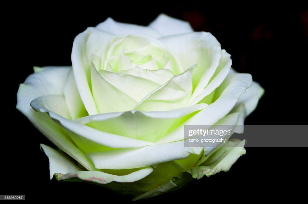 white rose on black : Stock Photo