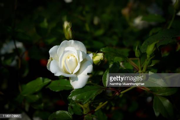 white rose on green brushes in the abundant garden for creating the flower background. the freshness of rose makes a couple of lover feeling happiness and relaxation. - abundance stock pictures, royalty-free photos & images
