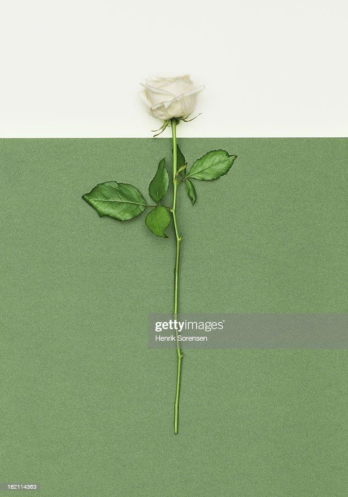 White Rose : Stock Photo