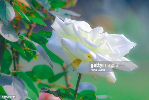white rose - neha gupta stock pictures, royalty-free photos & images