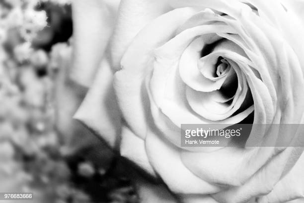 white rose - hank vermote stock pictures, royalty-free photos & images