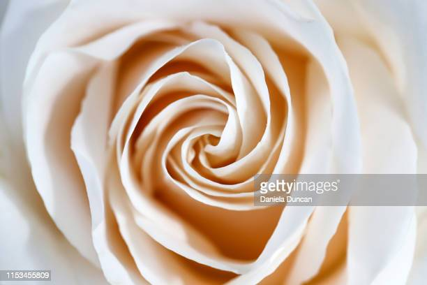 white rose swirl - beige stock pictures, royalty-free photos & images