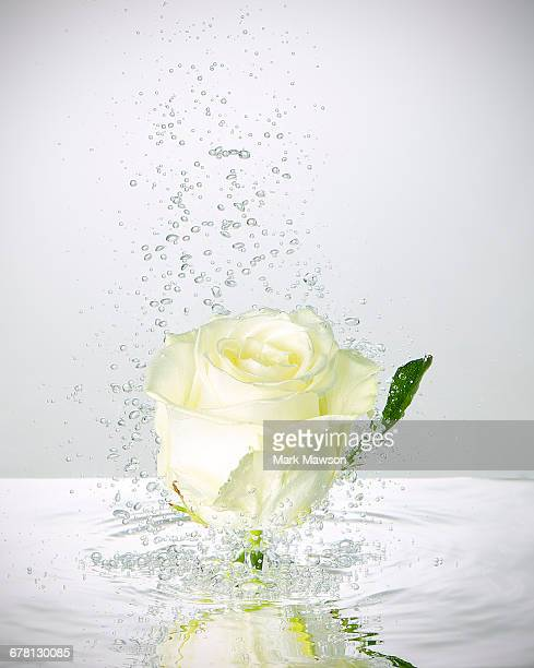 white rose underwater with bubbles