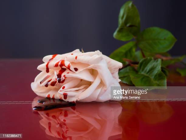 a white rose with drops of blood on a red table - blood love stock photos and pictures