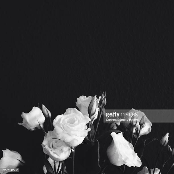 white roses against black - black rose stock pictures, royalty-free photos & images