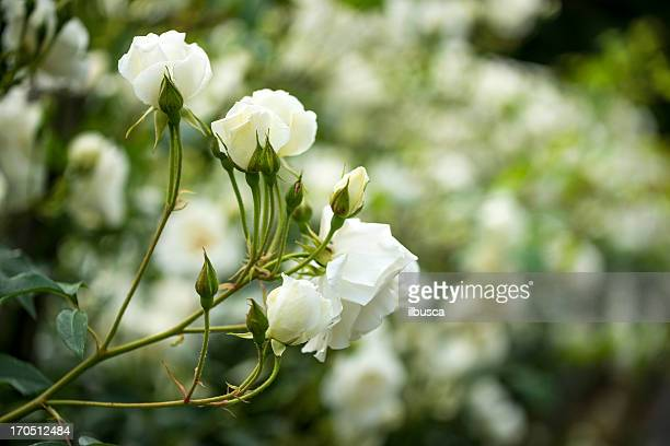White roses bush close up