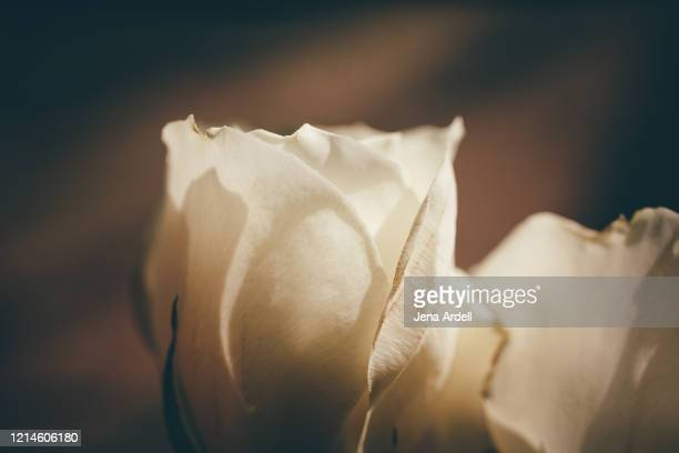 white roses closeup, rose background - jena rose stock pictures, royalty-free photos & images