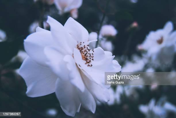 white roses. garden. - neha gupta stock pictures, royalty-free photos & images