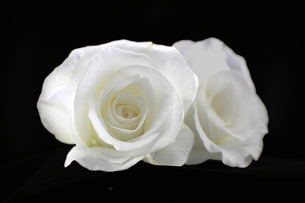 Free white rose on black background images pictures and royalty white roses mightylinksfo