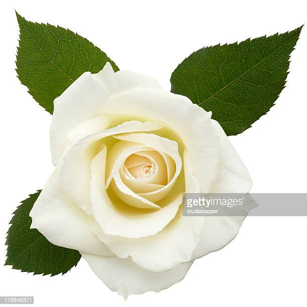 white roses /clipping path - rose stock pictures, royalty-free photos & images