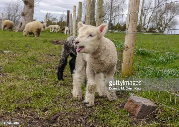 White Ryeland lamb bleeting