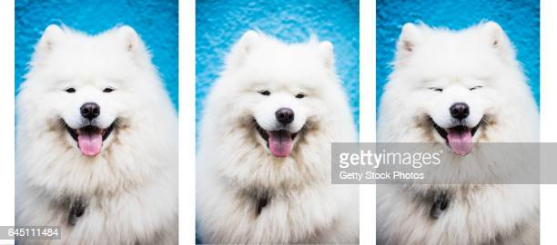 White Samoyed Dog