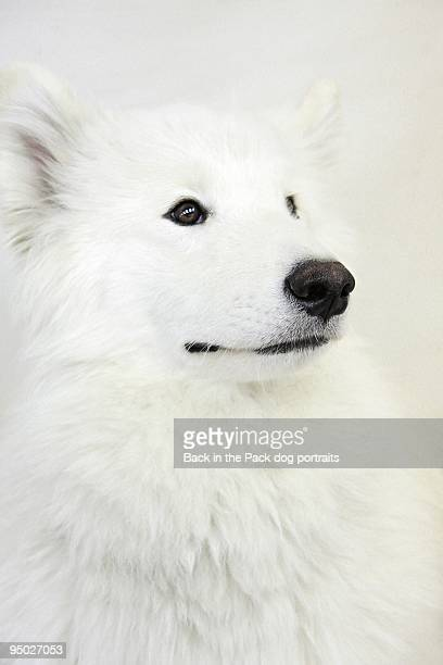 White samoyed dog sitting